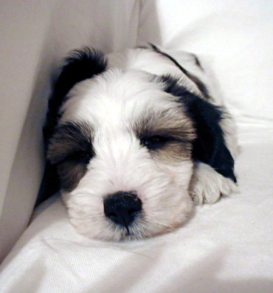 a little black and white Tibetan terrier puppy sleeping