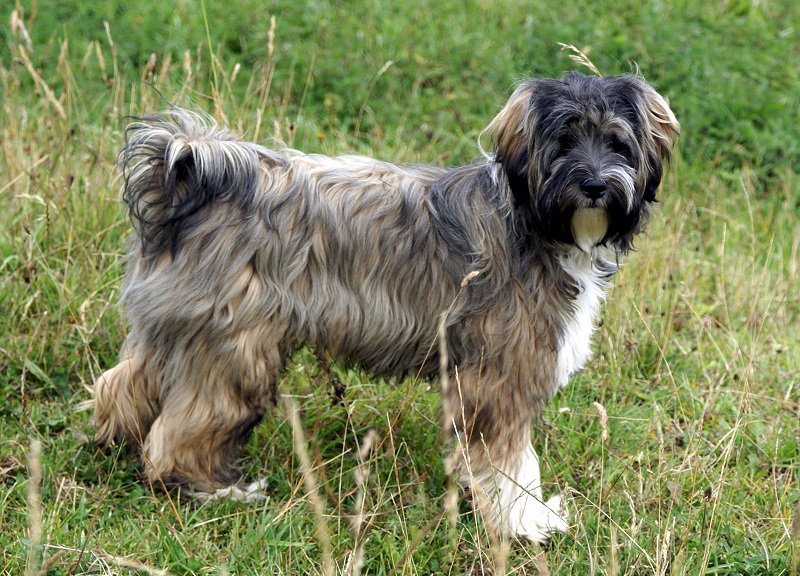 Tibetan terrier brown and black on grass