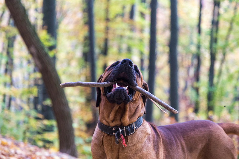 Tosa Inu playing with a stick in the forest