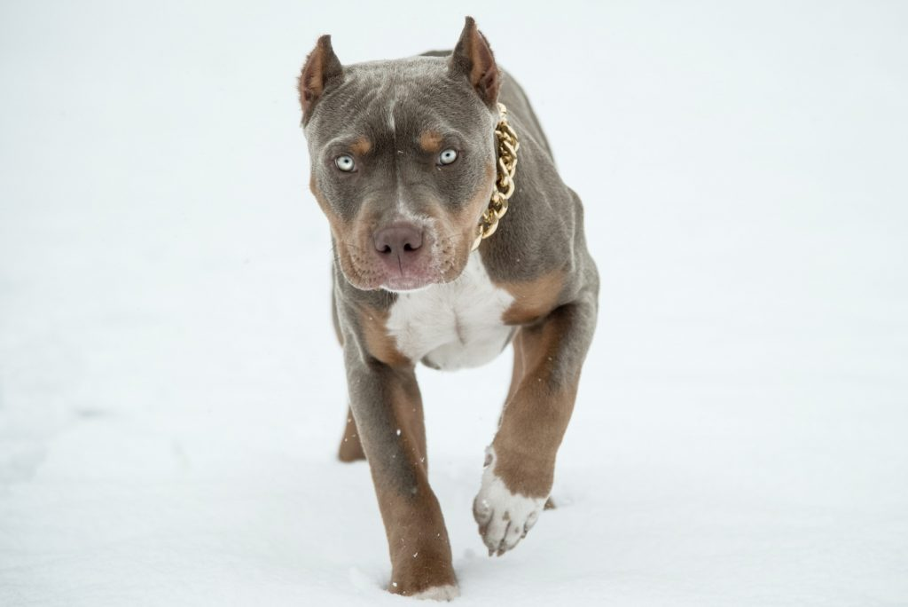 Tricolored American Bully walking in snow