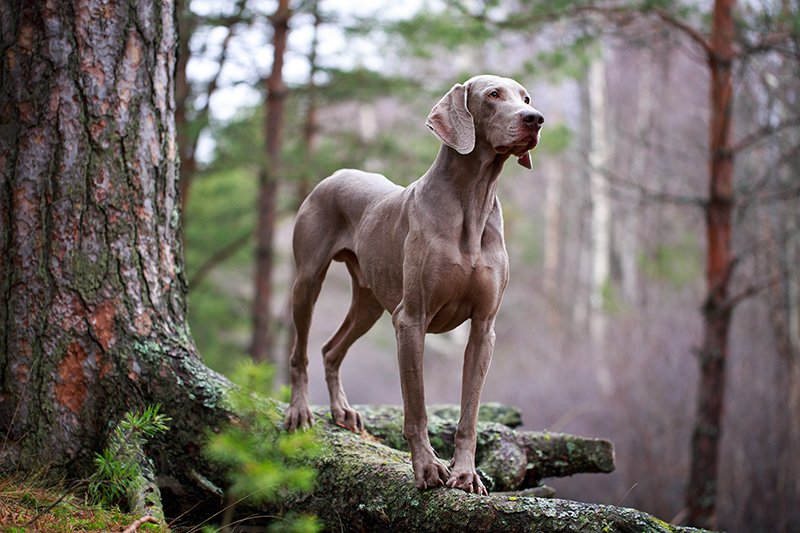 Weimaraner standing on tree in the forest