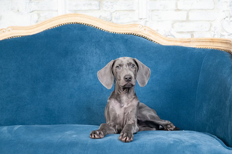 Weimaraner puppy lying on luxurious blue couch