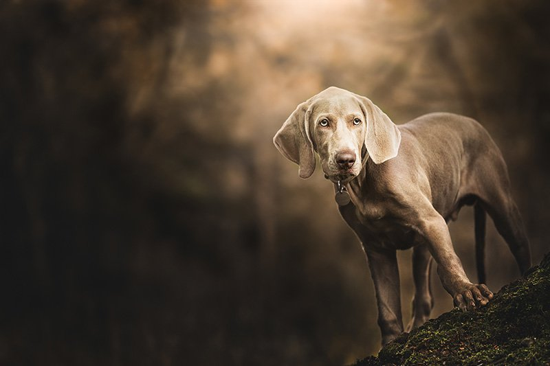 Portrait of Weimaraner standing on the root of a tree