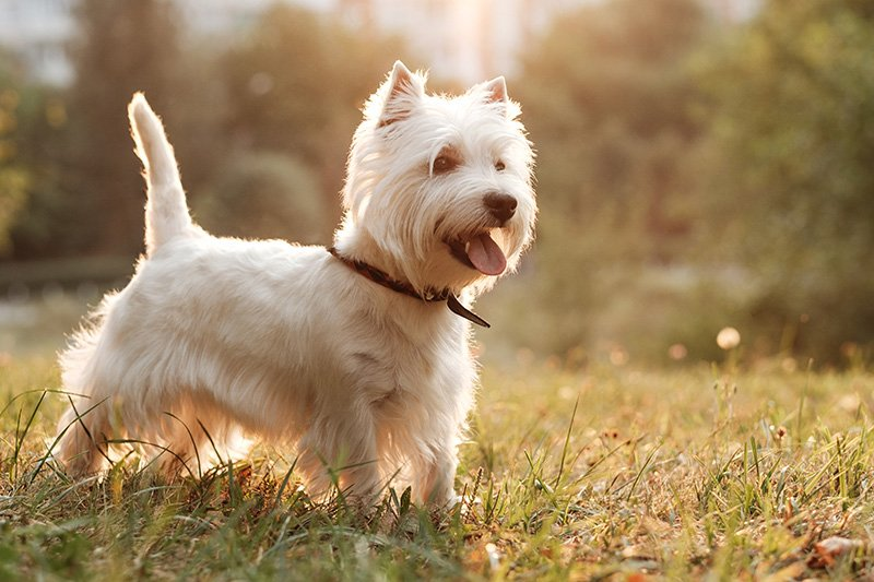 Portrait of West Highland White Terrier in the park