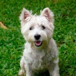 West Highland White Terrier A.K.A. Westie Dogs