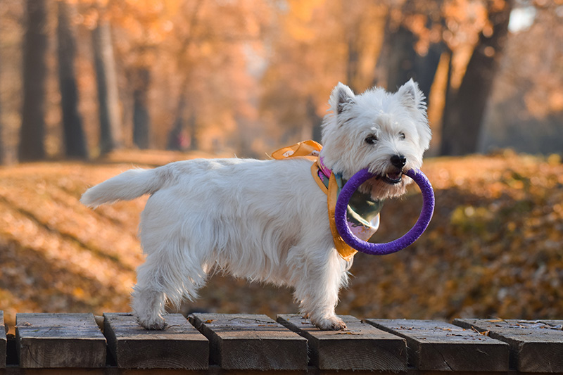 Westie standing on wooden bridge with toy in mouth