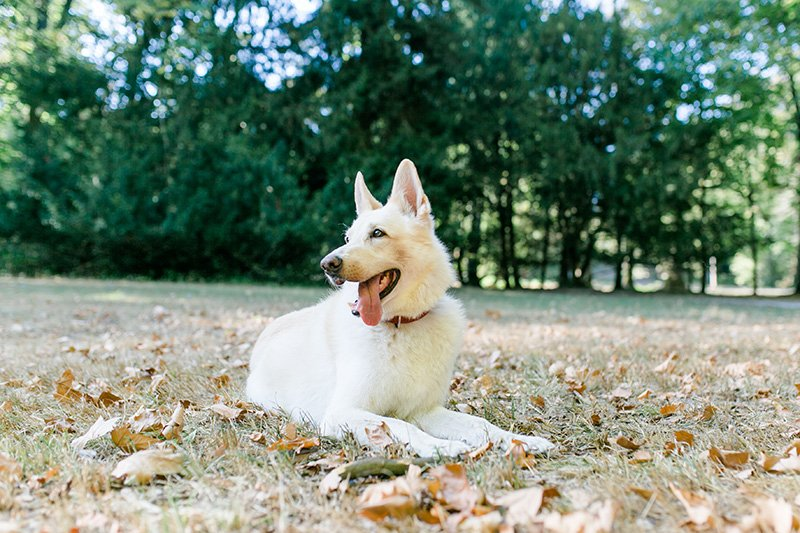 White German Shepherd lying down in forest with tongue sticking out