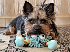 Yorkie Names That Fits Your Yorkshire Terrier