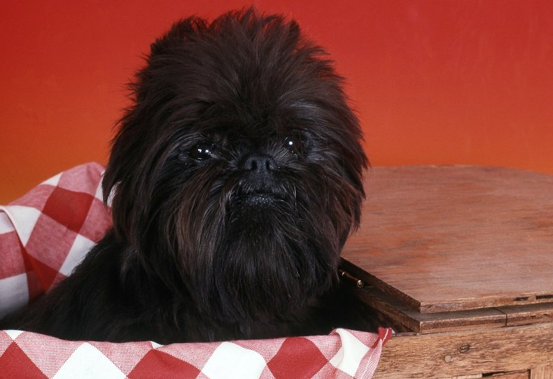 Affenpinscher in profile