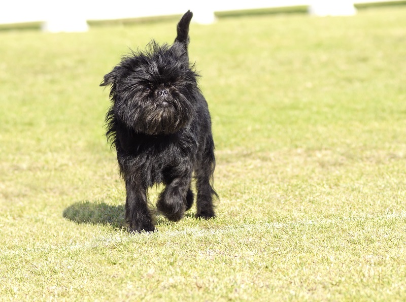 Black Affenpinscher with short shaggy wire coat walking on grass