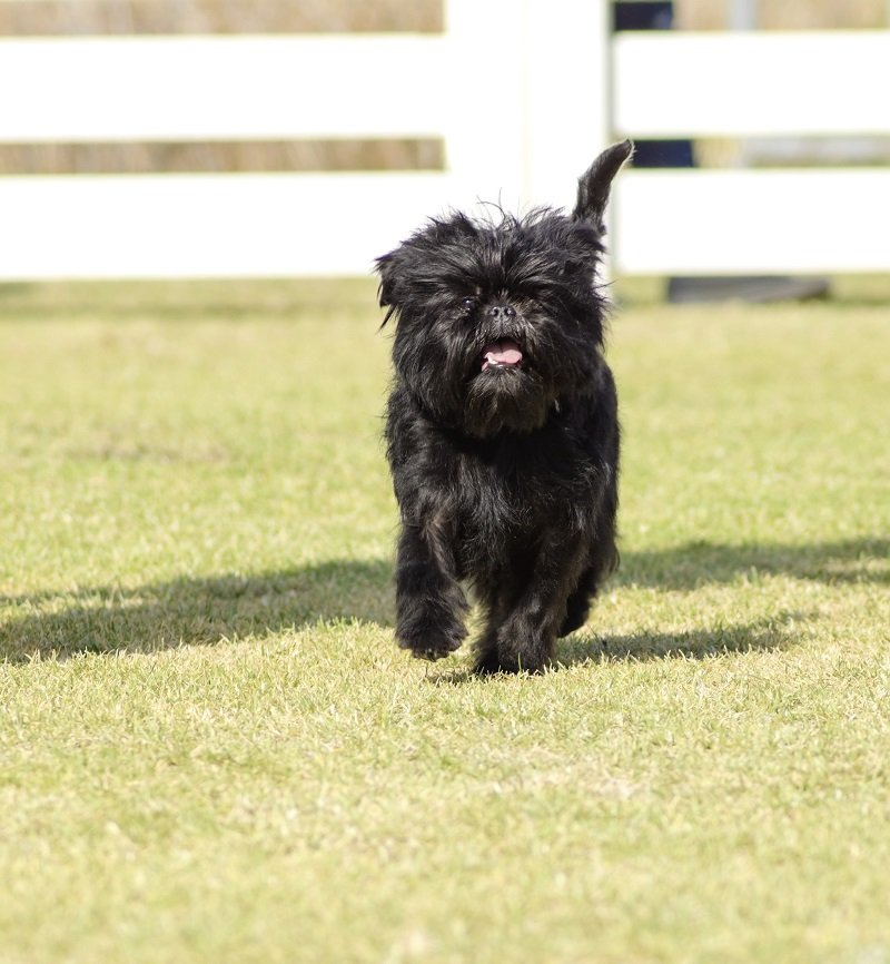 Affenpinscher on grass walking towards camera