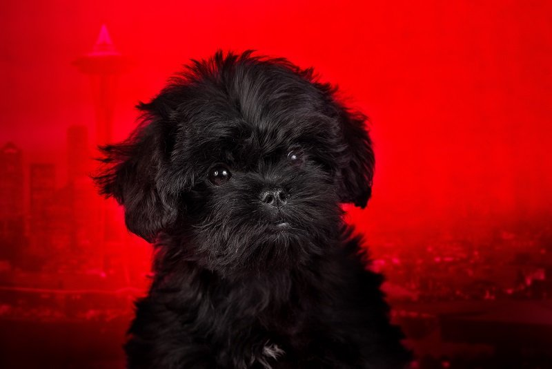 Affenpinscher puppy on a red background. Silhouette of an urban landscape