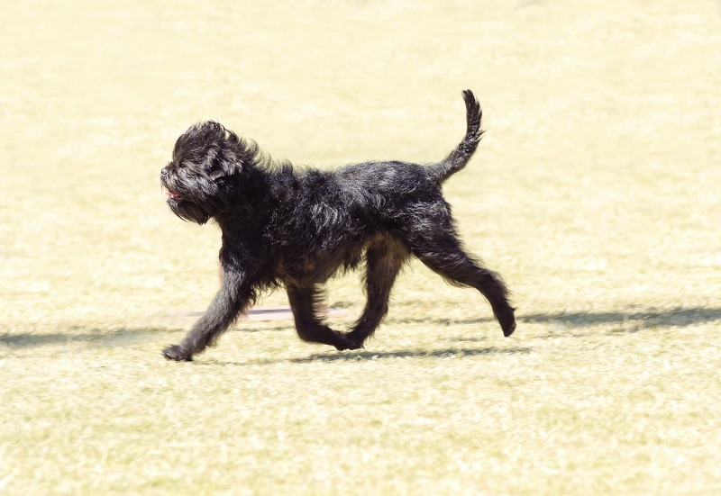 Affenpinscher walking on grass