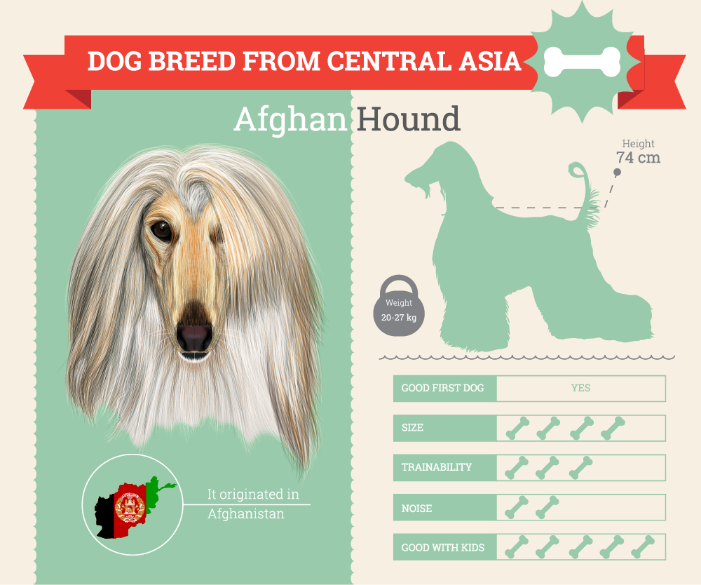 Afghan Hound Infographic