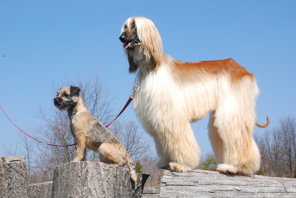 Afghan Hound standing on a tree stump