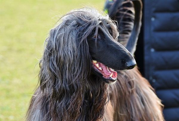 Afghan Hound looking to the side