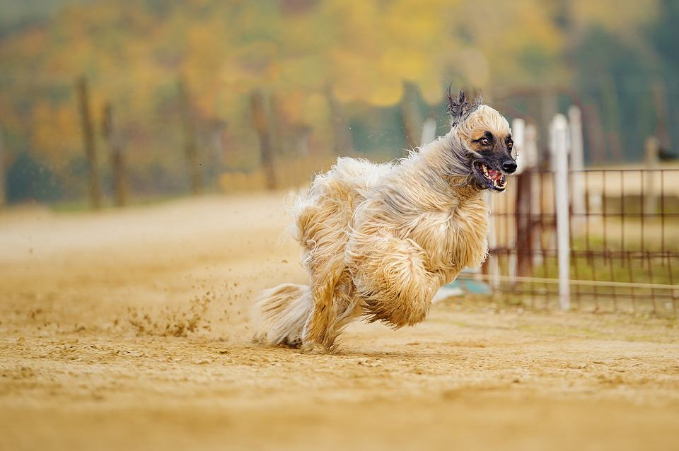 Afghan Hound running fast at the track