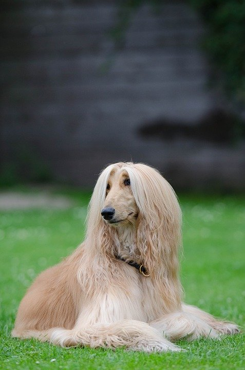 Afghan Hound laying in grass