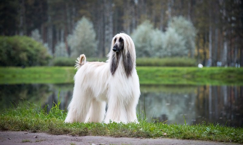 Afghan Hound with long white coat