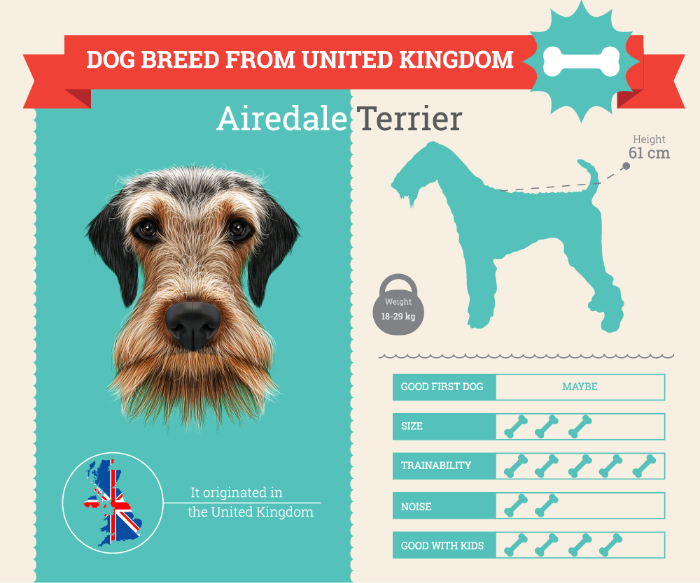 Airedale Terrier Infographic