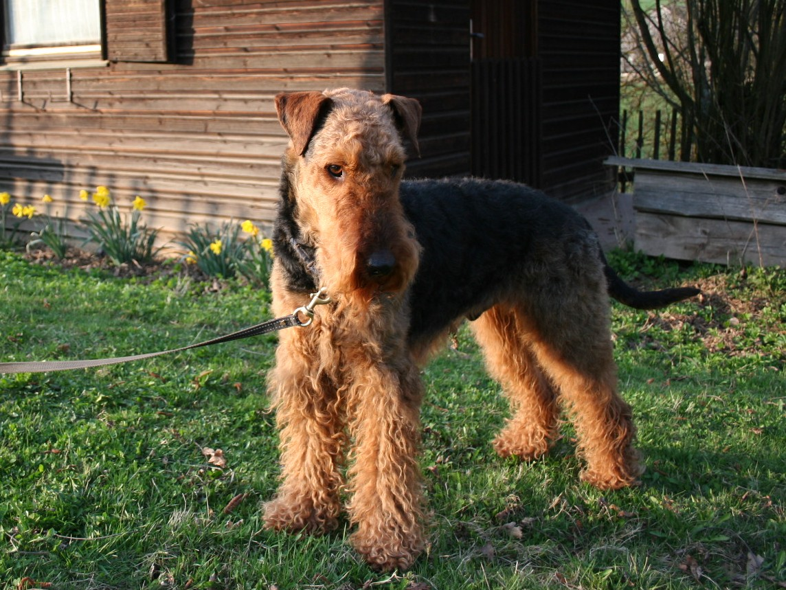 Airedale Terrier in dog leash