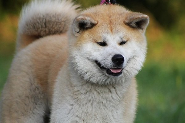 akita most expensive dog breed pictures