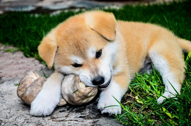 Akita Inu chewing on a bone