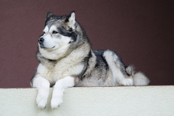 alaskan-malamute most aggressive killer breeds in the world