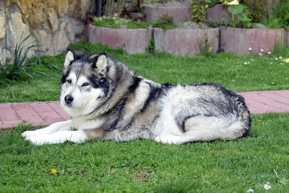 Alaskan Malamute laying on grass