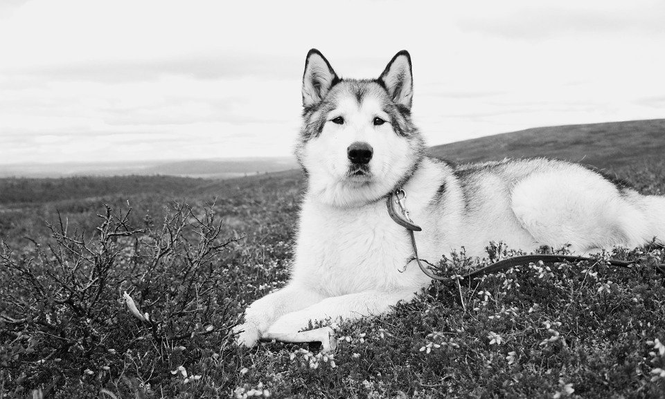 Monochrome photo of Alaskan Malamute dog