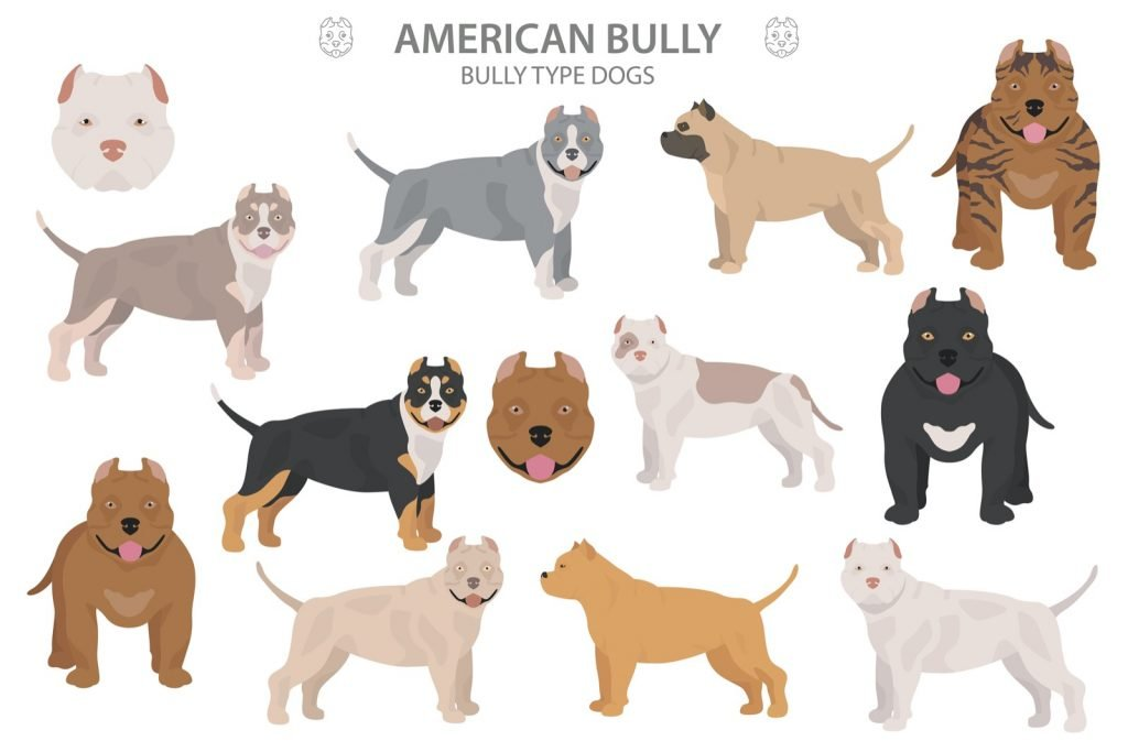 Illustration of American Bully types and colors