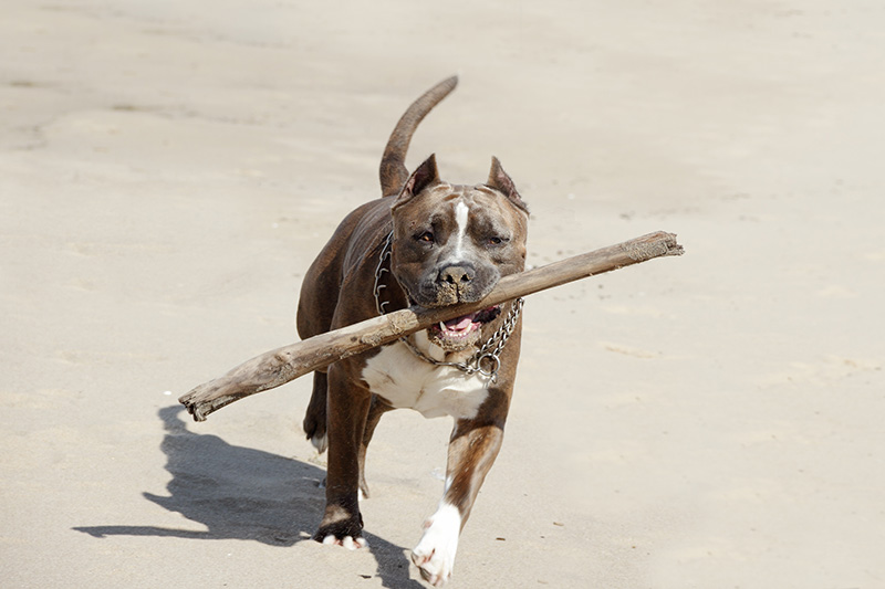 American Pit Bull Terrier playing on beach with stick in mouth