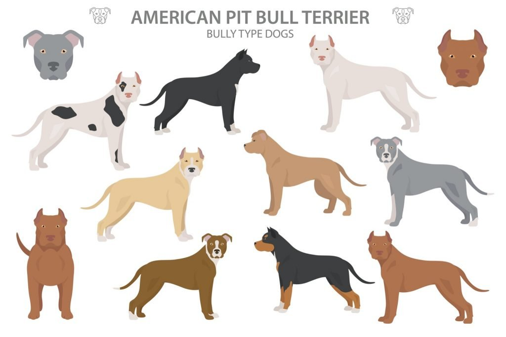 Illustration of American Pitbull Terrier types and colors