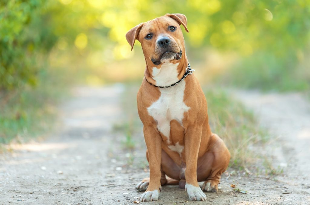 American Staffordshire Terrier sitting in park