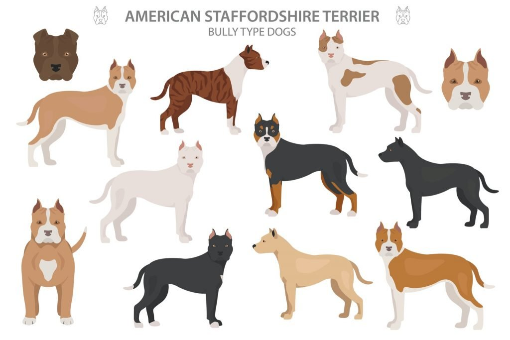 Illustration of American Staffordshire Terrier types and colors