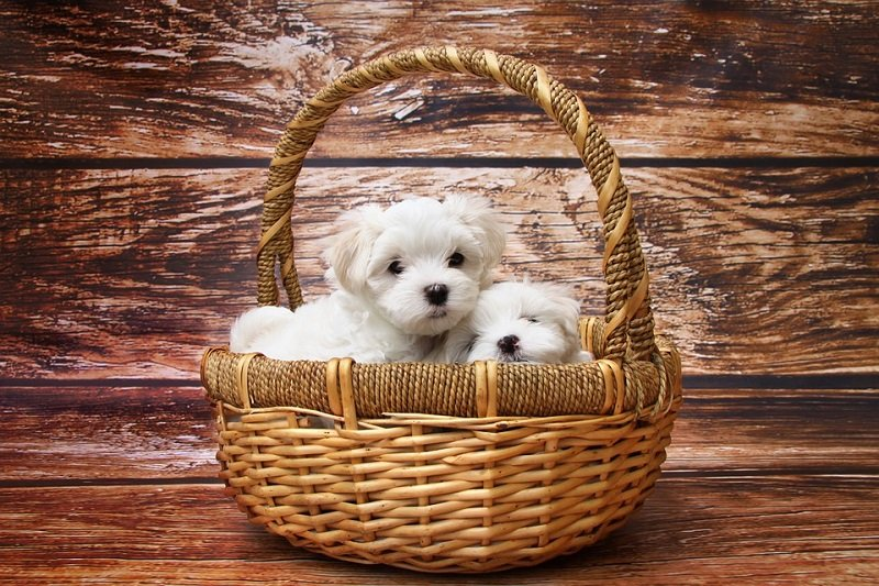 are toy dog breeds and small breed dogs right for you