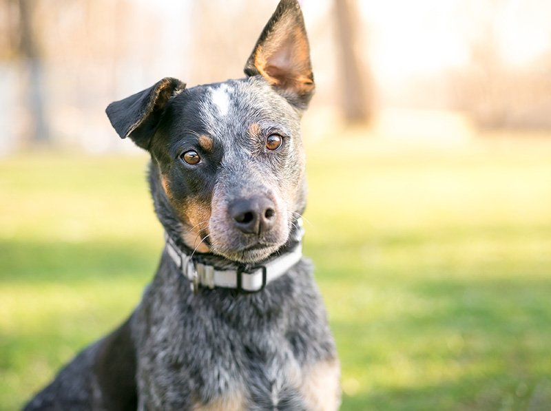 Australian Cattle Dog outdoors