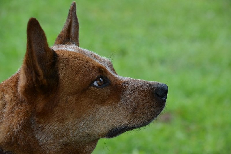 Australian cattle dog sits alertly