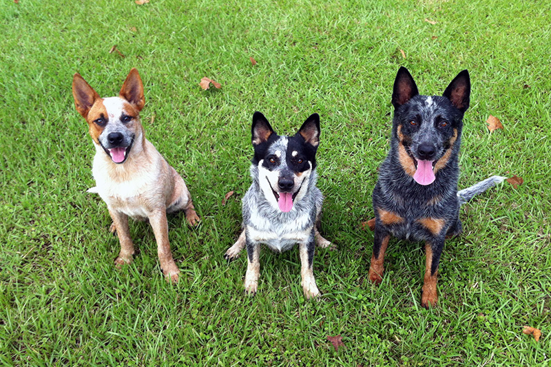 Australian Cattle Dogs sitting on grass next to each other