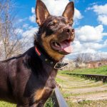australian-kelpie-outdoors