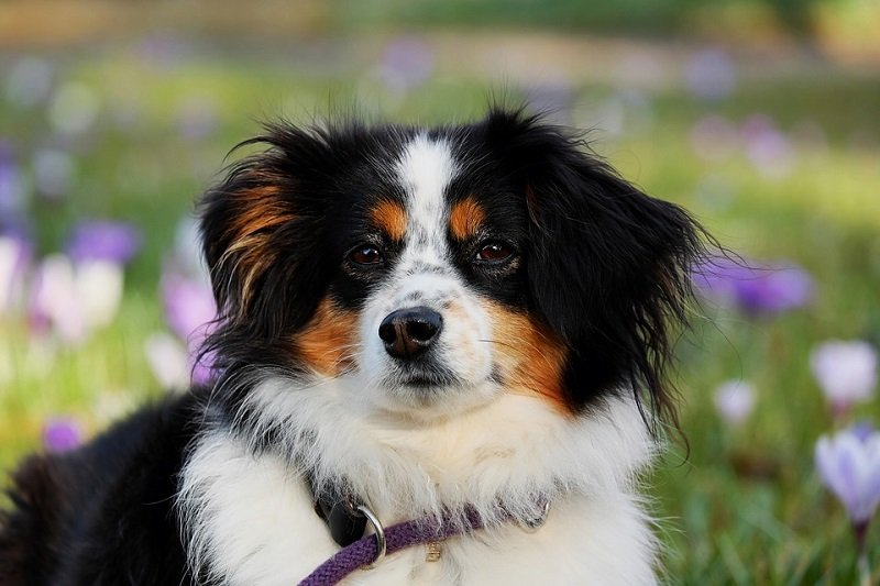 Black, white and brown Australian Shepherd
