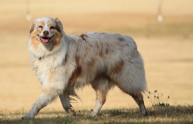Smiling happy Australian Shepherd walking by