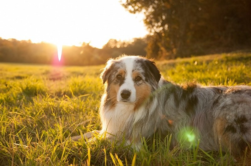 Australian Shepherd dog laying in grass enjoying the sunset