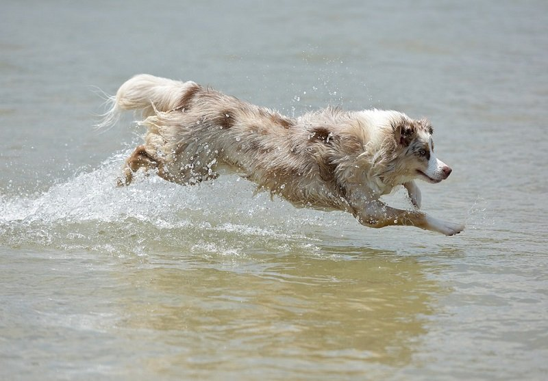 Australian Shepherd running in water