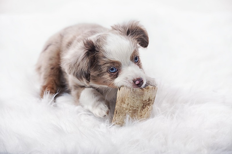 Australian Shepherd puppy biting a piece of wood