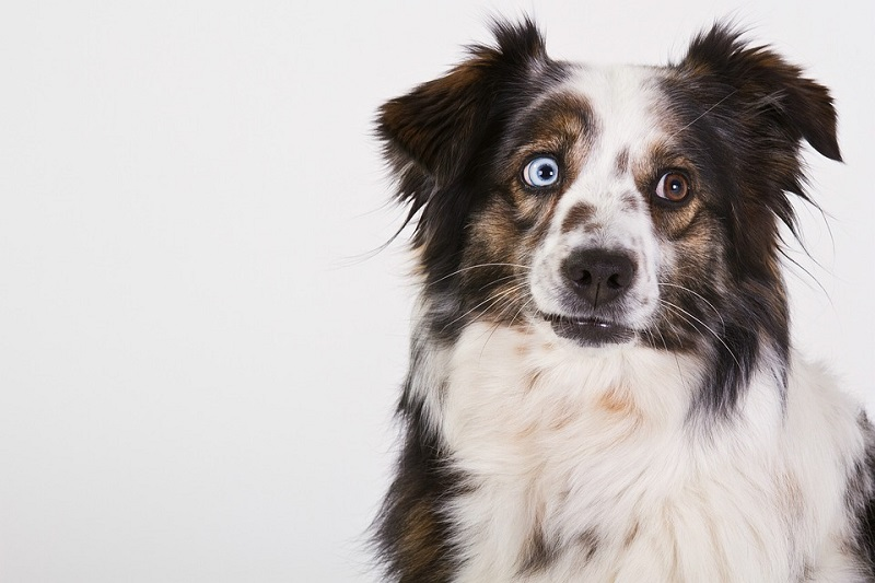 Australian Shepherd with one brown and one blue eye
