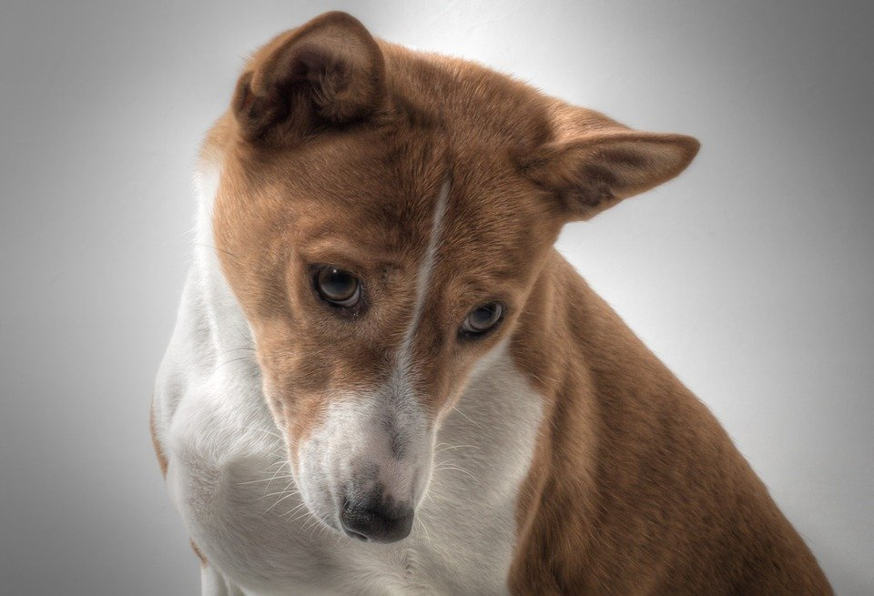 Basenji looking into camera with head tilted