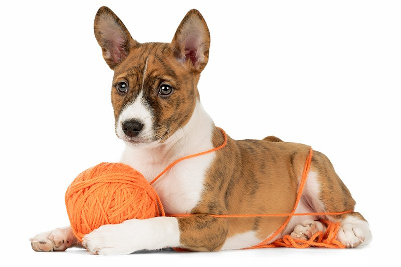 Basenji puppy with yarn roll on white background