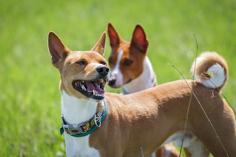 Two basenji dogs out for a walk