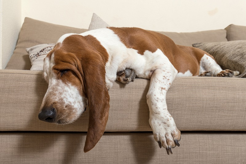 Beautiful Basset Hound dog sleeping comfortably on the sofa in the living room of the house with lots of sleep. Dog muzzle ears and big paws dropped the cushions